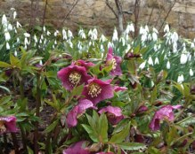 snowdrops and hellebores