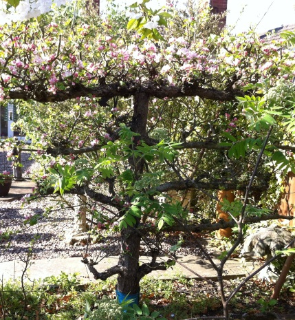 Apple Tree trained to grow along wires, Espalier style