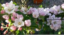 Spring blossom on the apple tree