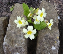 400 celebration Anne Hathaways Cottage primroses