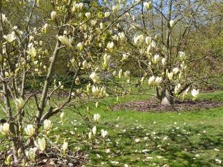kew yellow magnolia closer