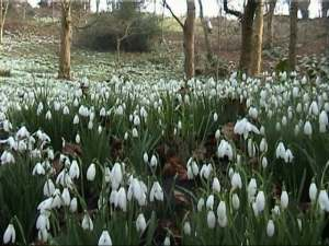 snowdrops-close-up-2