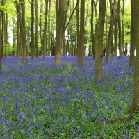 Bluebells with the Brontes