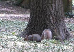 Benhall Squirrel