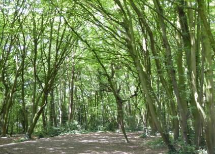 Benhall Tree Tunnel