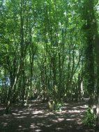 Benhall Woods 4