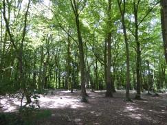 Benhall Woods a