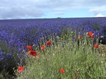 lavender & poppies 1