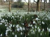 snowdrops-close-up