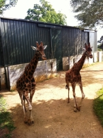 Two giraffes came to see Thea